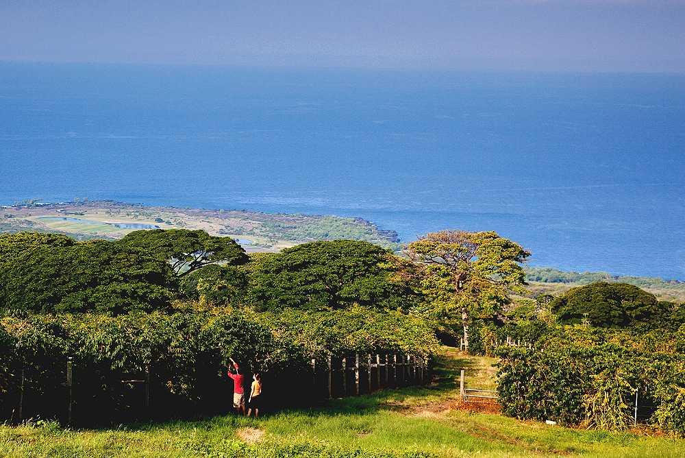 Kona Coffee Plantations, Big Island of Hawaii - Reviews, Pictures, on